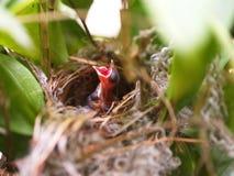 Fin vers le haut de petit oiseau jumel dans le nid dans le waiti en bambou d'arbre pour la nourriture de la maman images libres de droits