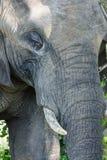 Fin vers le haut de portait d'un éléphant images libres de droits