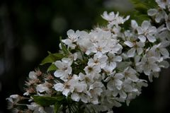 Fin vers le haut de Sakura With Blurs Background blanche de floraison image libre de droits