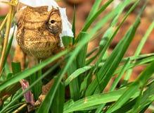 Fin vers le haut des dilepis Aileron-étranglés bruns de chamaeleo de caméléon image libre de droits
