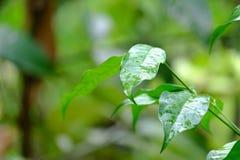 Fin vers le haut des feuilles de plante tropicale avec des gouttelettes sur la surface de peau et la lumière chaude images stock