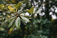 Fin vers le haut des feuilles vertes avec le waterdrop sur le fond trouble photographie stock