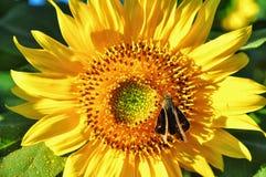 Fin vers le haut des fleurs du soleil en nature image stock