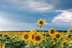 Fin vers le haut des flottements de tournesol dans le vent en ciel bleu comme fond photo stock