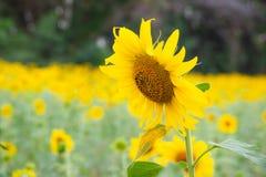 Fin vers le haut des graines d'usine et de pollen de tournesol grandissant dans le jardin organique dans le paysage de campagne d photographie stock libre de droits