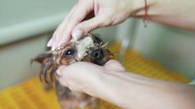 Fin vers le haut des mains de groomer lavant le museau du petit chien mignon avec le shampooing dans le salon de toilettage d'ani banque de vidéos