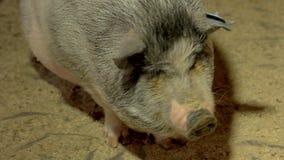 Fin vers le haut des porcs mignons à la ferme d'animaux clips vidéos