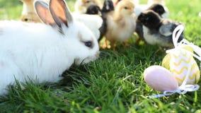Fin vers le haut des poulets et du lapin de Pâques nouveau-nés dans le ton chaud sur le champ d'herbe sur le fond vert banque de vidéos