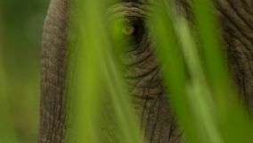 Fin vers le haut des yeux de l'éléphant d'Asie, parc national de Kaziranga, Assam, Inde photographie stock libre de droits
