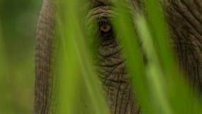 Fin vers le haut des yeux de l'éléphant d'Asie, parc national de Kaziranga, Assam, Inde images libres de droits