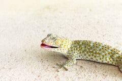 Fin vers le haut du gecko tokay sain de la Thaïlande marchant sur la terre photos libres de droits