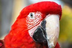 Fin vers le haut du portrait principal de pousse d'un ara color? d'?carlate d'aile de vert de perroquet photo stock