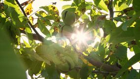 Fin vers le haut Noix mûres européennes vertes s'élevant sur l'arbre parmi des feuilles, à la lumière du soleil noyers avec banque de vidéos