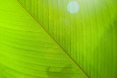 Fin vert clair de feuille, texture Photo libre de droits