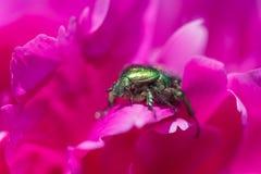 Fin verte d'aurata de Cetoniinae de scarabée  photos libres de droits