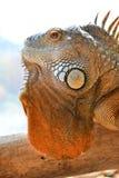 Fin verte d'iguane vers le haut Photos stock