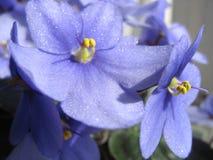 fin violet Royaltyfri Fotografi