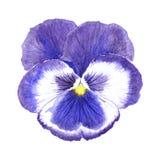 Fin violette de fleur vers le haut Photo libre de droits