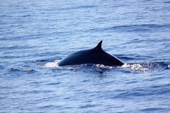 Fin whale. The back of a Fin Whale seen in the Mediterranean Sea, in Italy, in an area called Pelagos Sanctuary for Mediterranean Marine Mammals. This is a royalty free stock photography