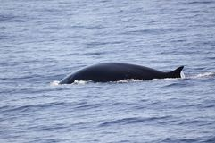 Fin whale Royalty Free Stock Photos