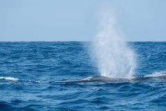 Fin whale in the Atlantic. A huge fin whale surfacing near to Pico Island stock photo