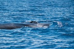 A fin whale at the surface. The fin whale Balaenoptera physalus showing its white lower jaw and huge blowholes royalty free stock photography