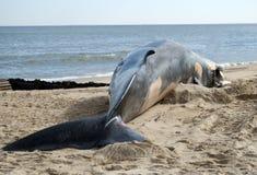 Fin Whale Beached. Dead fin whale on beach Stock Photo