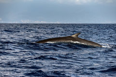 Fin Whale endangered specie rare to see. In Mediterranean sea royalty free stock photos