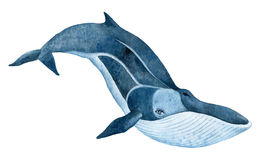 Fin whale. Hand drawn watercolor  illustration Royalty Free Stock Photos
