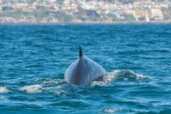Fin whale off Newport Coast in Orange County, California. A 60 foot long fin whale, Balaenoptera physalus, shows itself about a mile off the highly populated stock photo