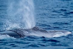 A fin whale surfacing with a huge blow. Dramatic scene of an enormous fin whale surfacing close to the camera, in Pico island Azores, a regular stop on their stock photography