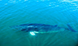 Fin whale  under water in the ocean, background Royalty Free Stock Images