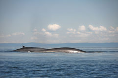 Fin whales, St Lawrence river, Quebec (Canada). Fin whales, St Lawrence river in Quebec (Canada royalty free stock image