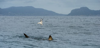Fin of a white shark and Seagulls. Royalty Free Stock Photography