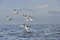 Fin of a white shark and Seagulls Royalty Free Stock Images