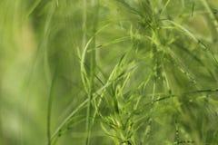 Fina gröna örter som gör suddig i brisen Arkivfoton
