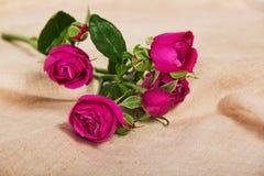Fina rosa rosor på en kanfas Royaltyfri Bild