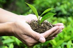 Fina teblad för kvalitetsanbudgräsplan Arkivfoto