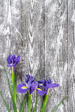 Fina Tulip Flowers Royaltyfri Fotografi