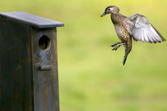 Final Approach. A Wood Duck hen returning to her nesting box Stock Images