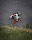 Final approach. An Atlantic puffin during its final landing approach royalty free stock photo