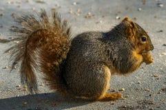 Final de espera do esquilo Imagens de Stock