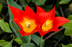 Final de los pares de los tulipanes del fuego Fotos de archivo libres de regalías