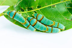 Final instar caterpillar of banded swallowtail butterfly on leaf Royalty Free Stock Image