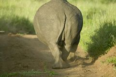 Final posterior del rinoceronte blanco en peligro como él se va en la conservación de la fauna de Lewa, Kenia del norte, África Fotografía de archivo libre de regalías
