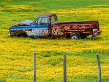 Final Resting Place  - Junked Pickup in Field of Flowers. Rusted old pickup truck in final resting place surrounded by a field of tiny bright yellow flowers Royalty Free Stock Photo