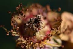 Finales de la vida de una rosa Imagen de archivo libre de regalías