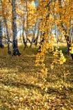 Finales del otoño en el bosque siberiano del abedul Imagen de archivo libre de regalías