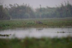 Finally got my breakfast. Purple Heron with fish catch at Mangalajodi Wetlands, Odisha(India Royalty Free Stock Photography