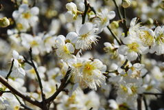 Spring apple flower blossom - Sakura. Fruit tree blossom in a Korean temple courtyard stock photography